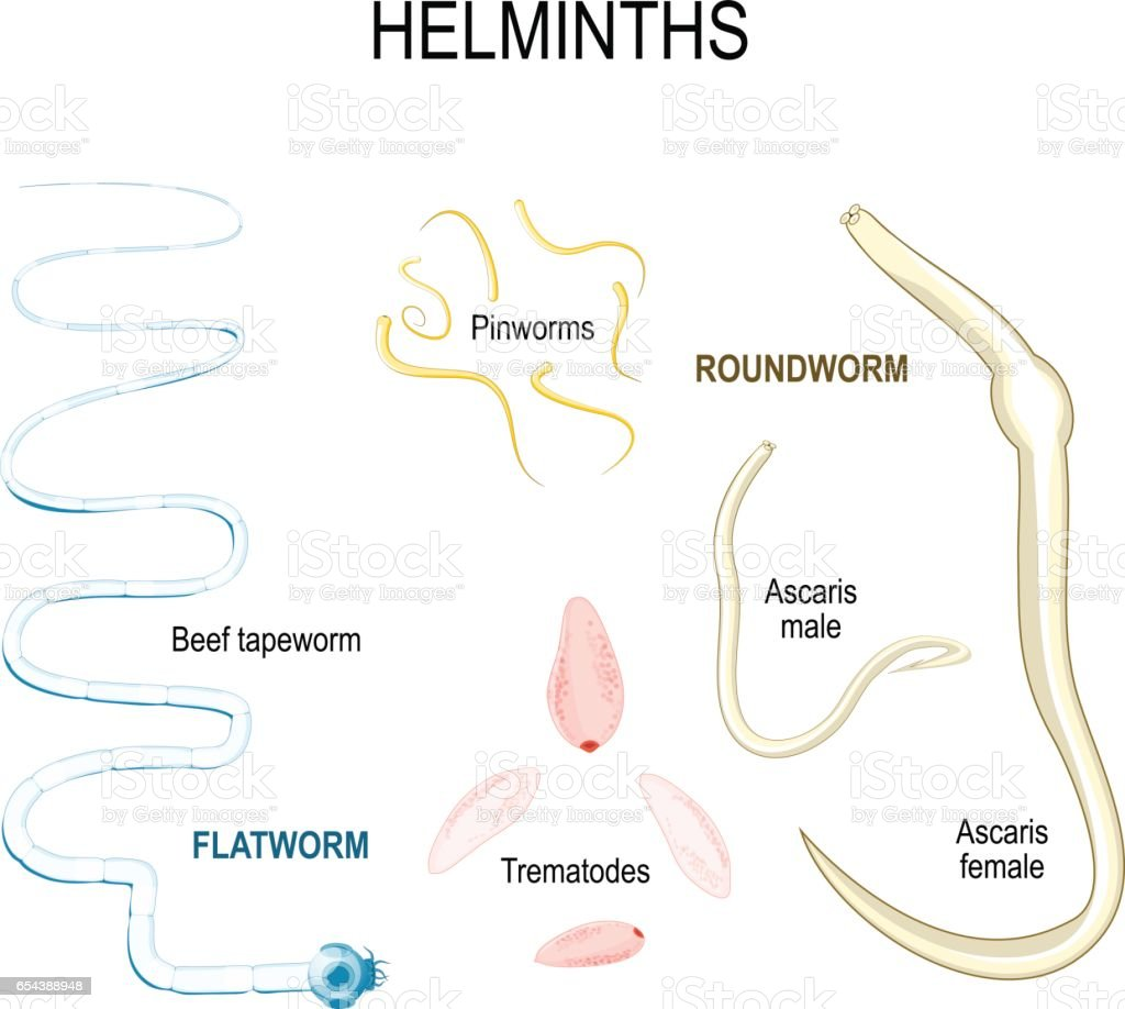 helminth worms in humans cancerul intestinului gros