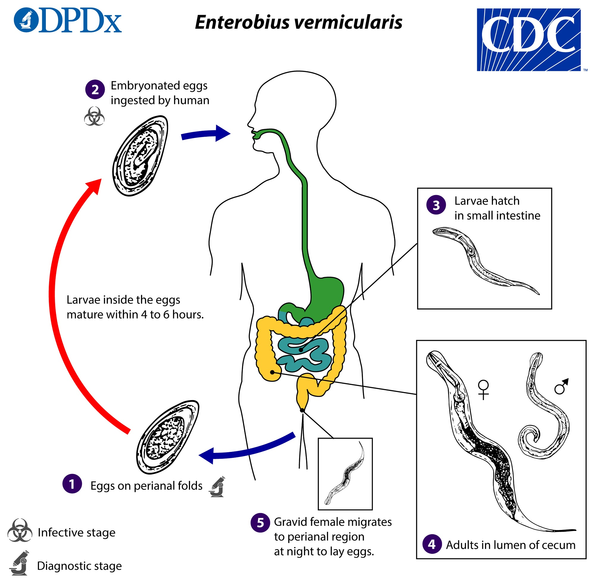 enterobius vermicularis virulence factors hpv herpes cancer