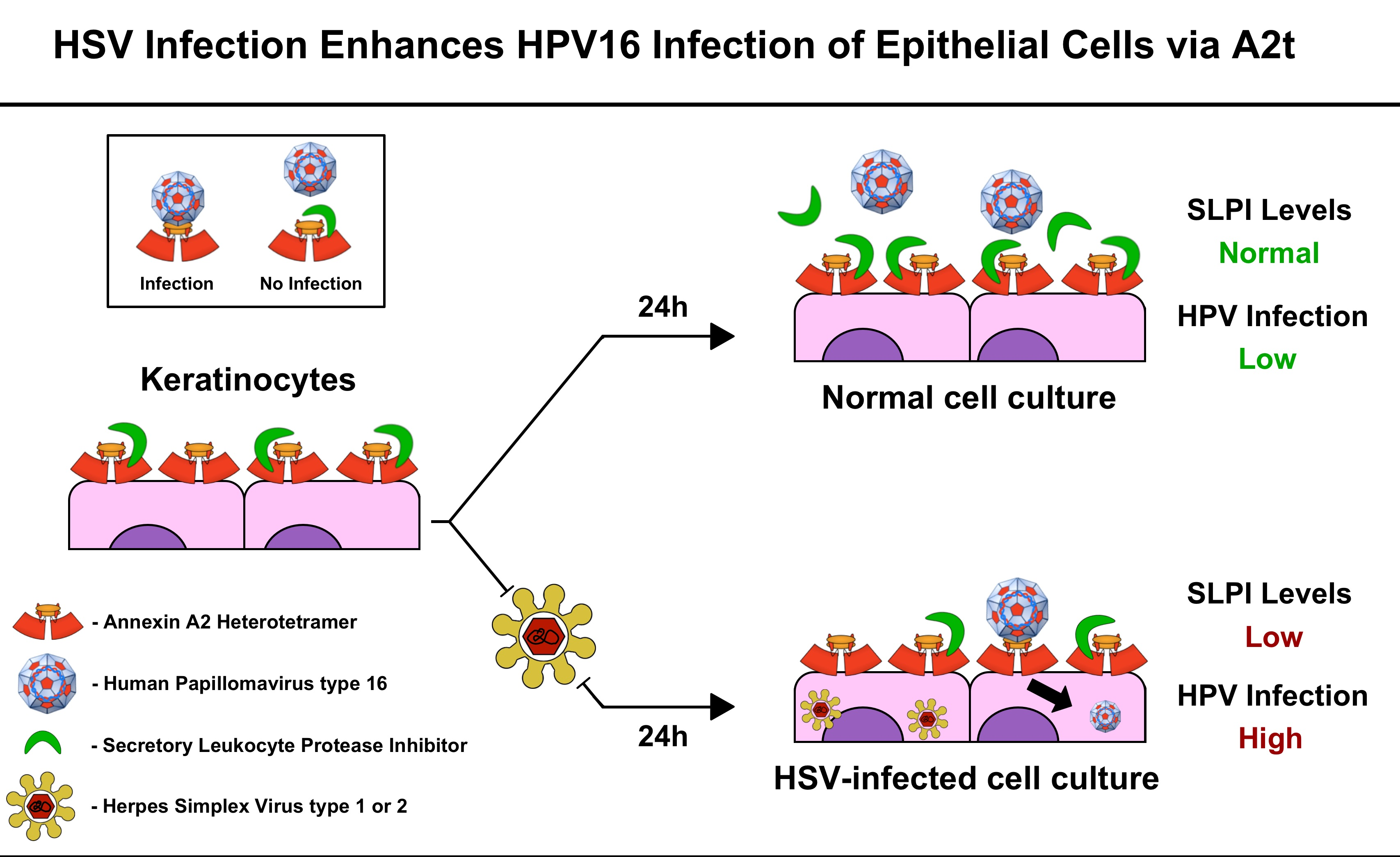 hpv virus is herpes tratamento para oxiuros